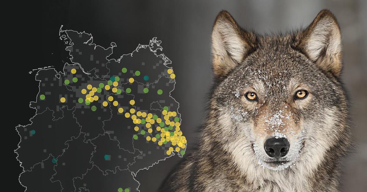 Wölfe In Brandenburg Karte.Wölfe In Deutschland Interaktive Karte Der Vorkommen